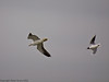 28 May 2011. Black-headed Gull driving off a Lesser Black-backed Gull at the Oysterbeds. Copyright Peter Drury 2011