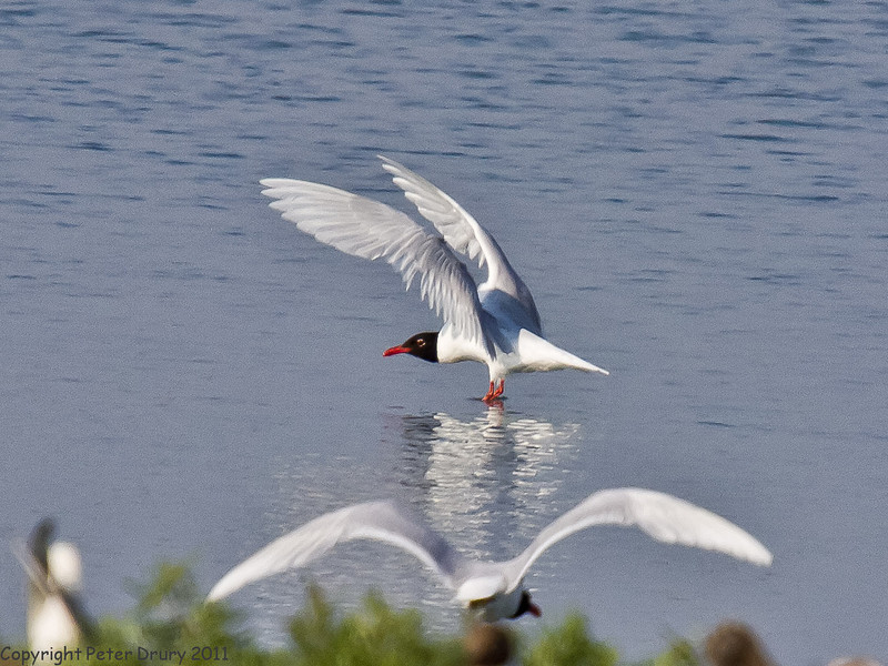 04 July 2011. Med. Gull landind in the lagoon. Copyright Peter Drury 2011