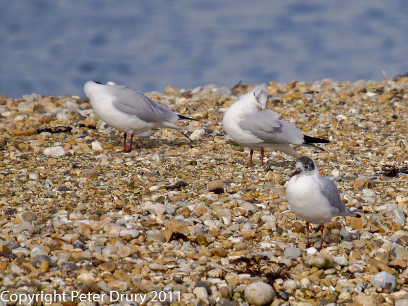 24 February 2011. Mediterranean Gulls on South Island. Copyright Peter Drury 2011