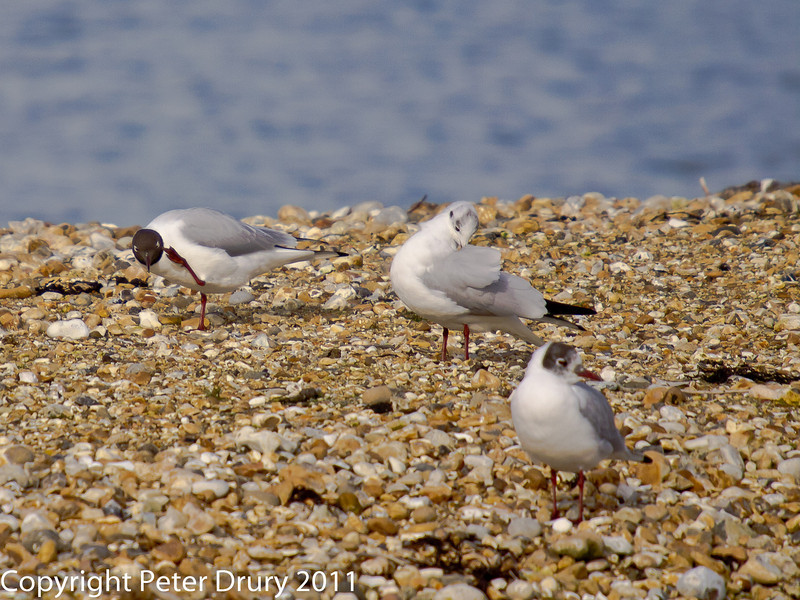 24 February 2011. Mediterranean Gulls on South Island. Copyright Peter Drury 2011