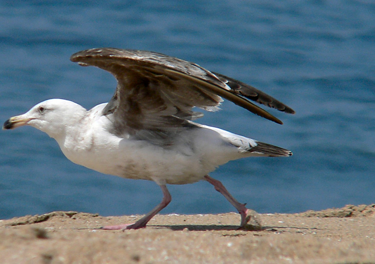 Gull Taking Off
