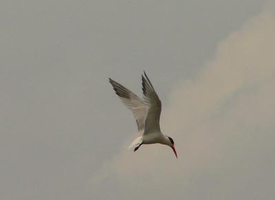 Elegant Tern 6
