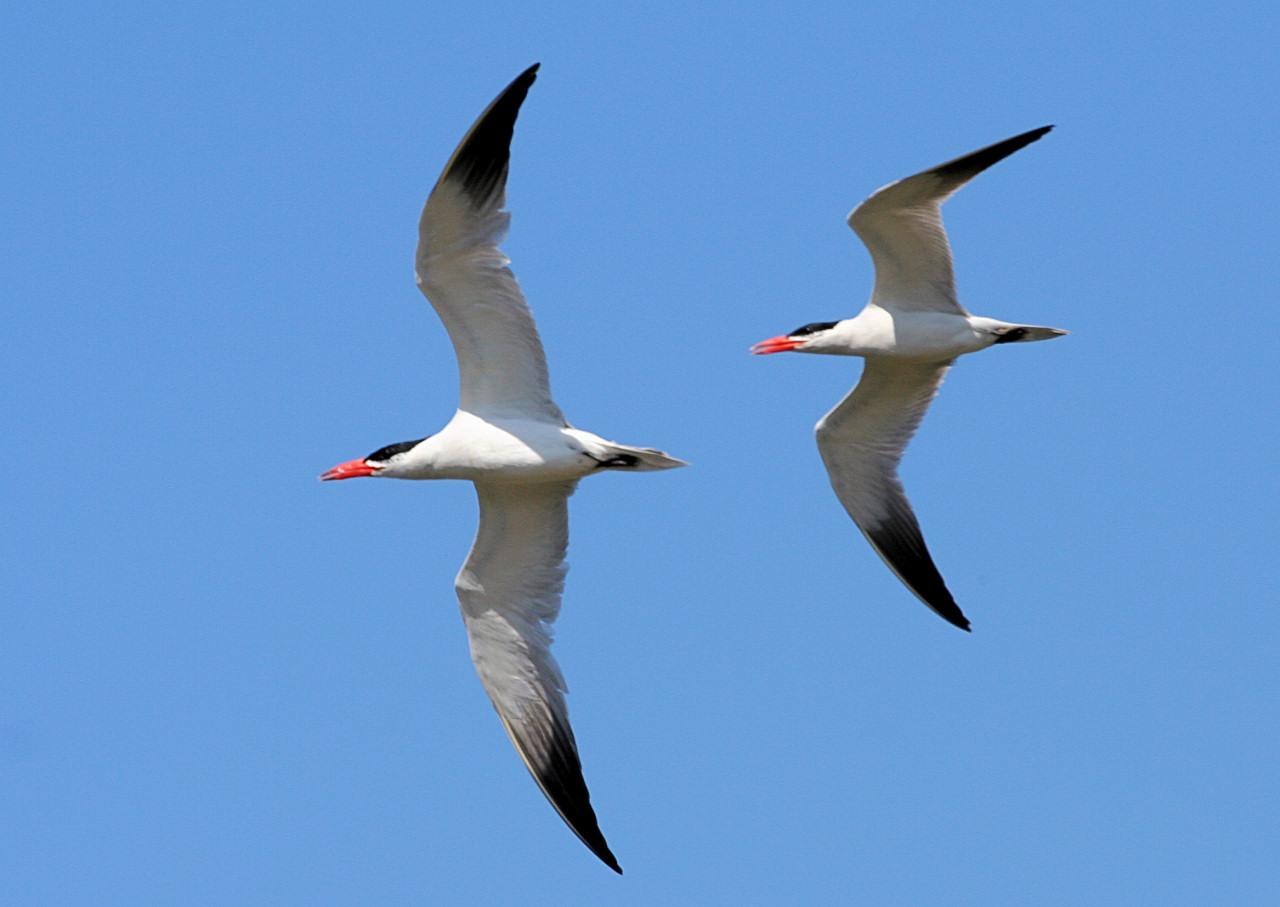 Caspian Tern 3
