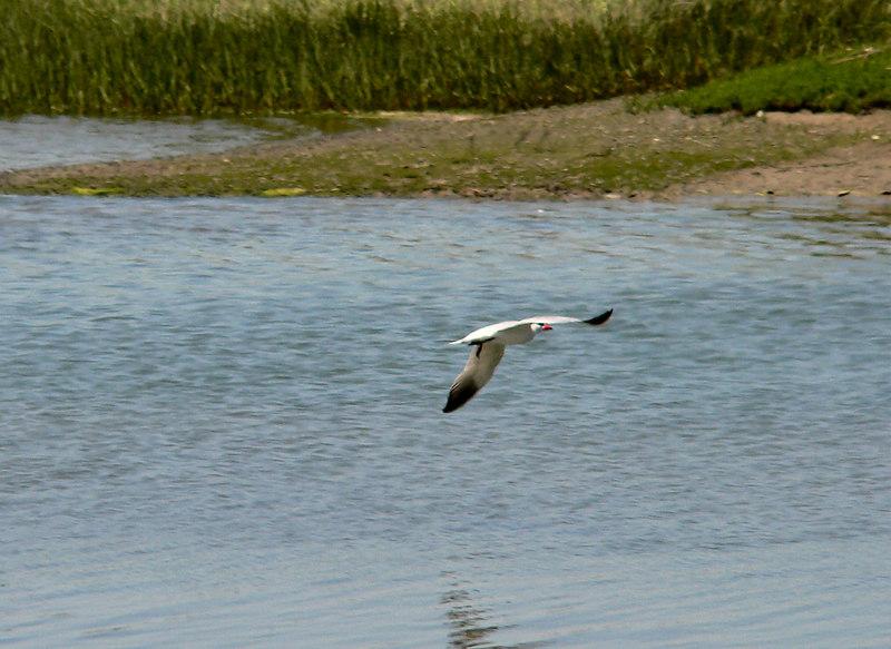 Caspian Tern BIF