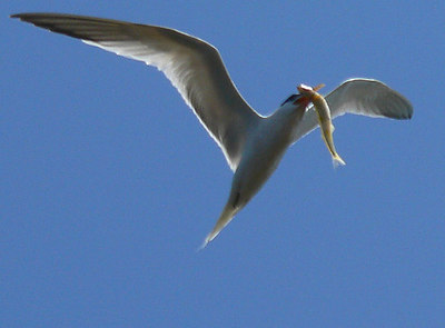 Tern Fish 1