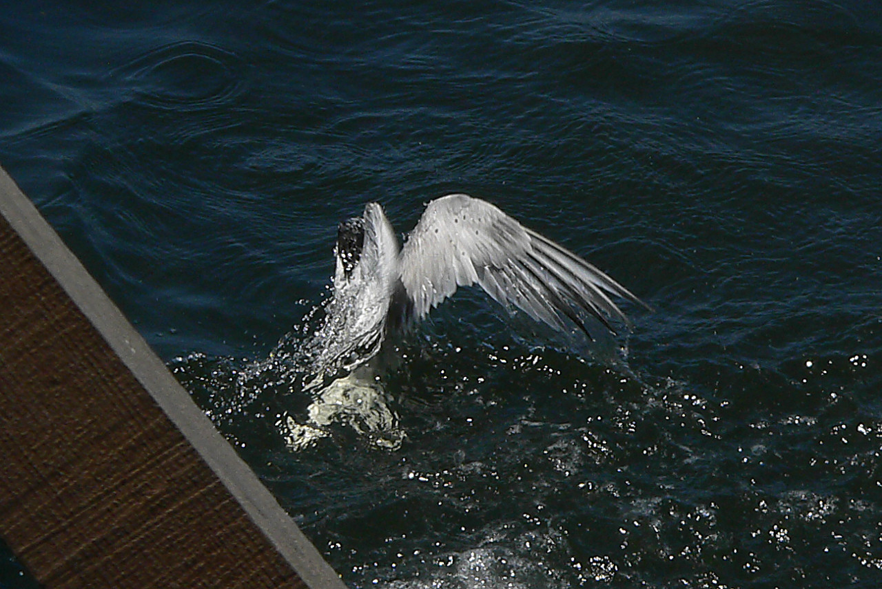 Tern out of Water 3