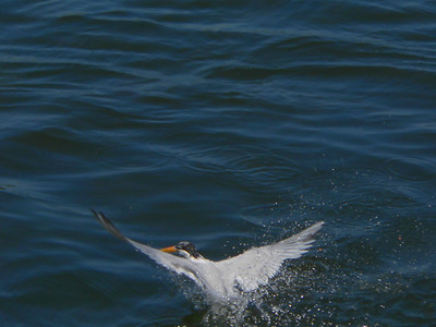 Tern out of Water 1