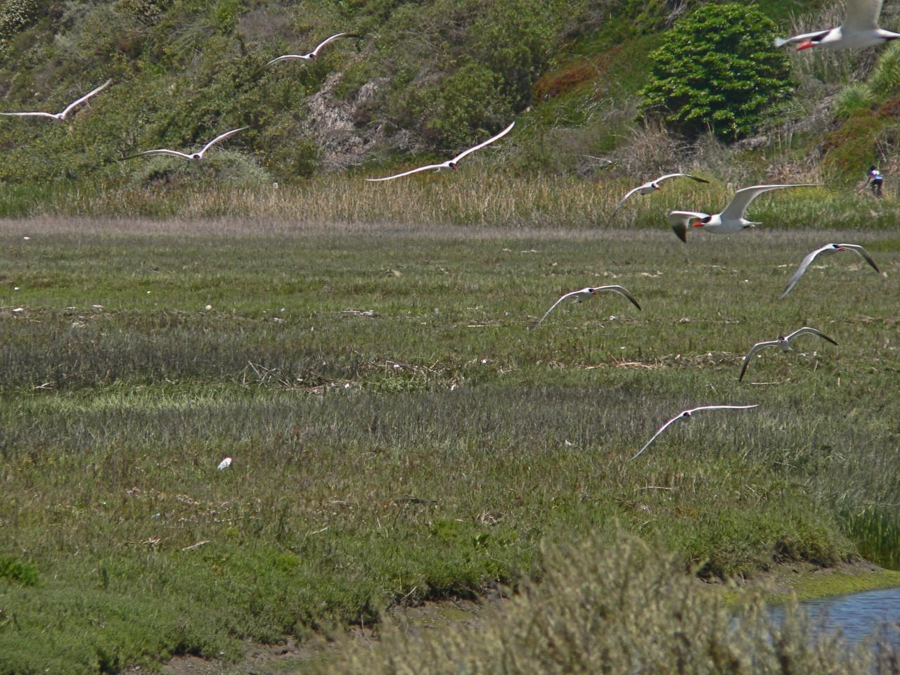 Caspian Terns Incoming