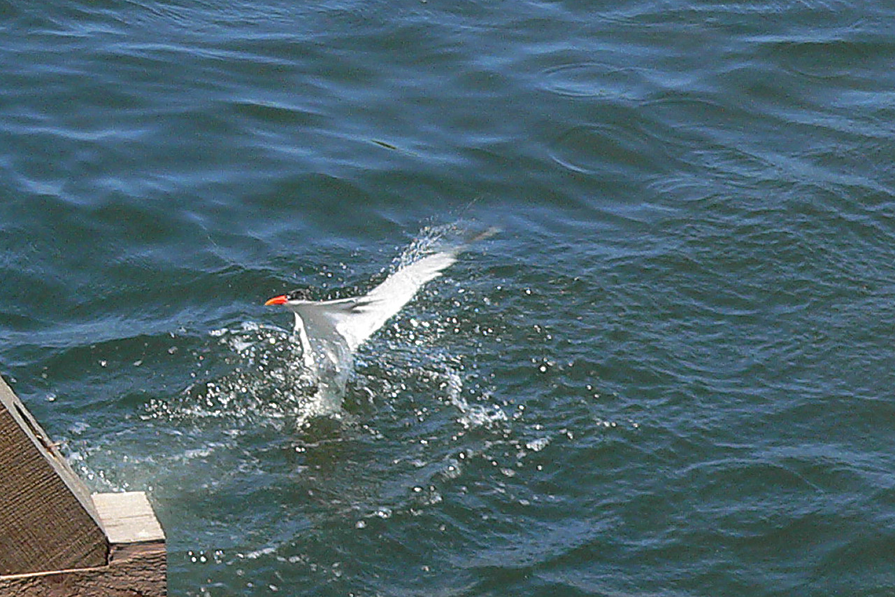Tern out of Water 2