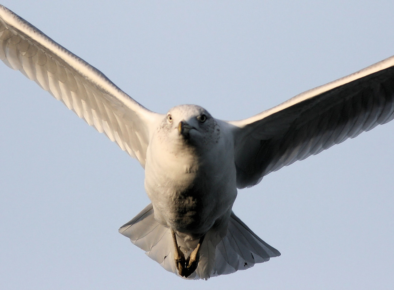 Full Frontal Gull
