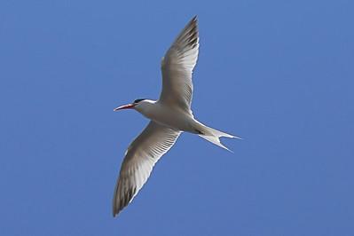 Tern Soar
