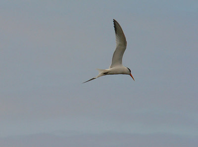 Elegant Tern 4