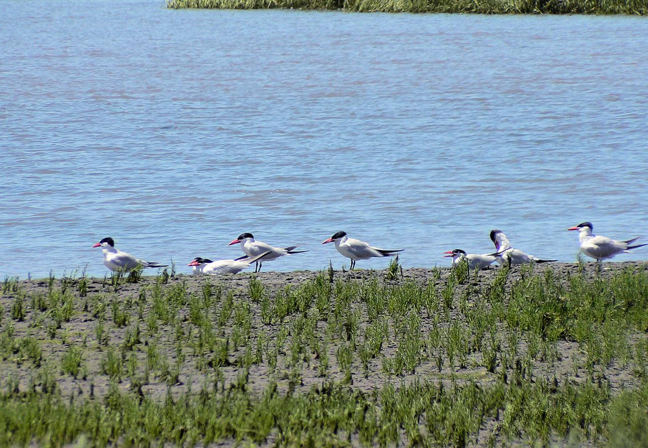 Backbay Terns
