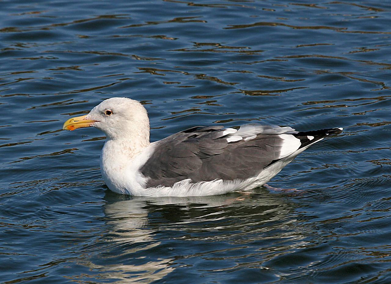 Gull 4
