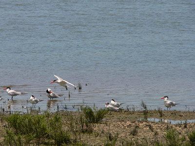 Caspian Tern Landing
