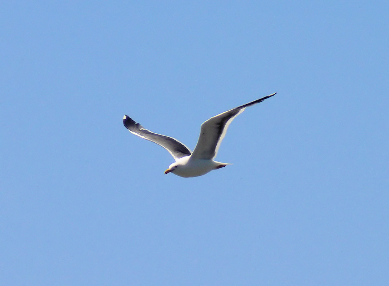 Backbay Gull