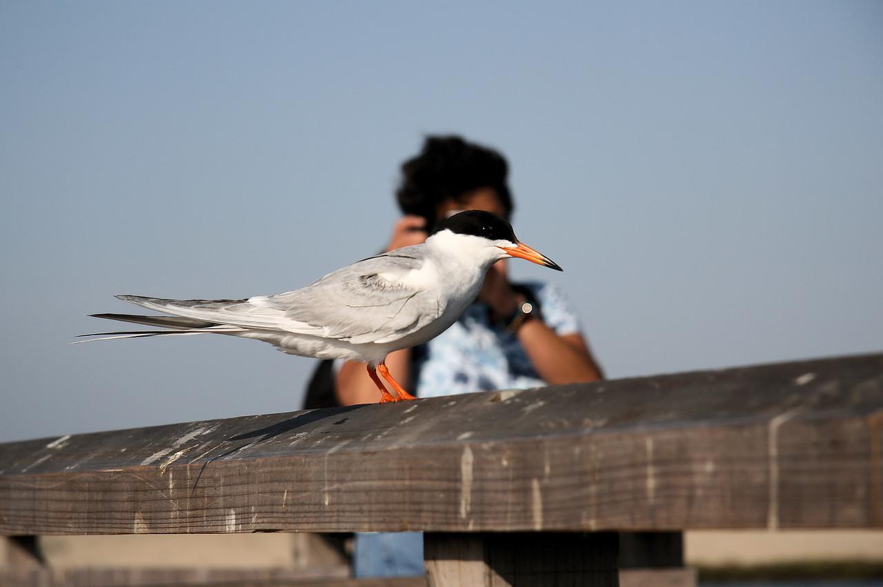 LaRee's Tern