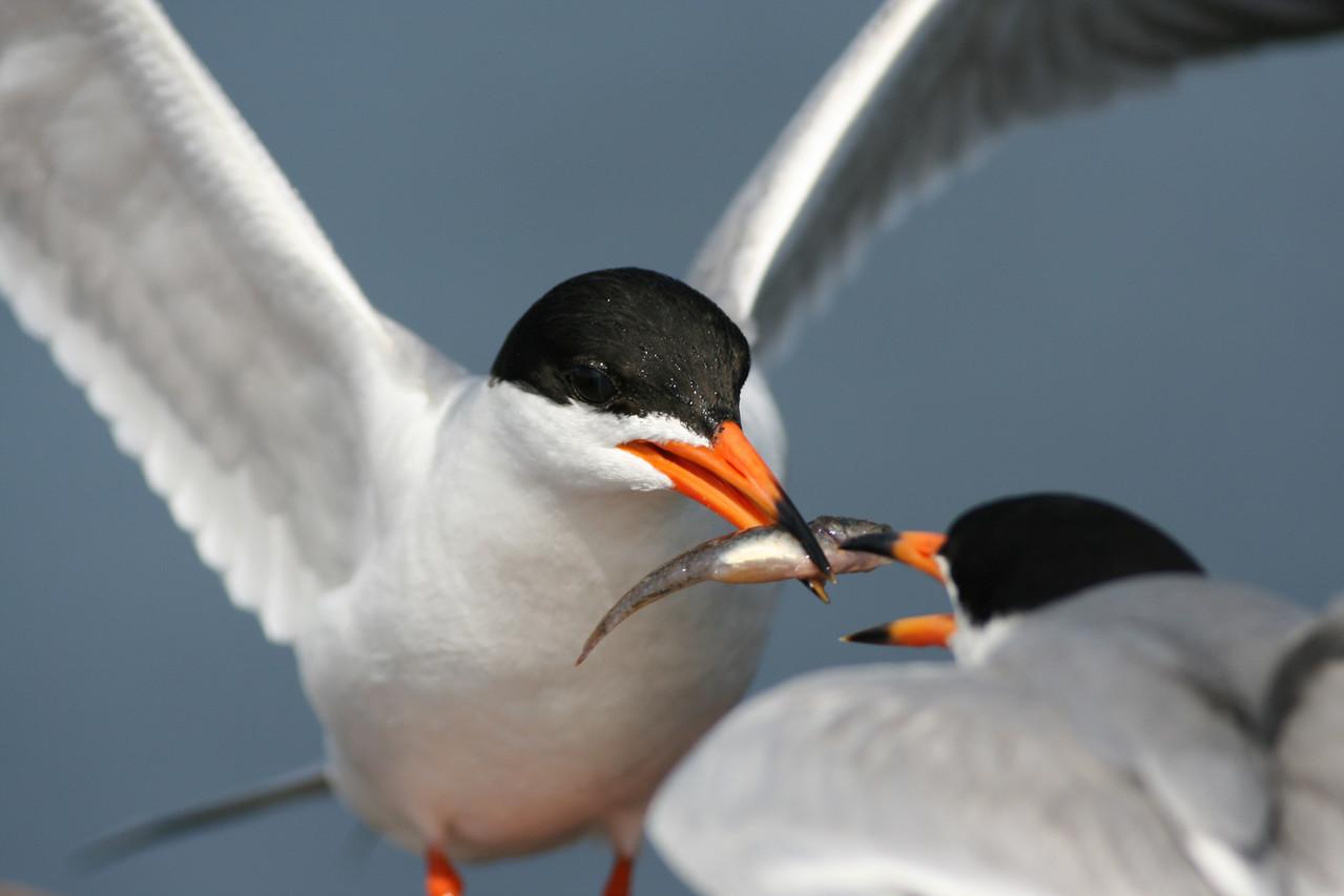 Tern Courting Behavior