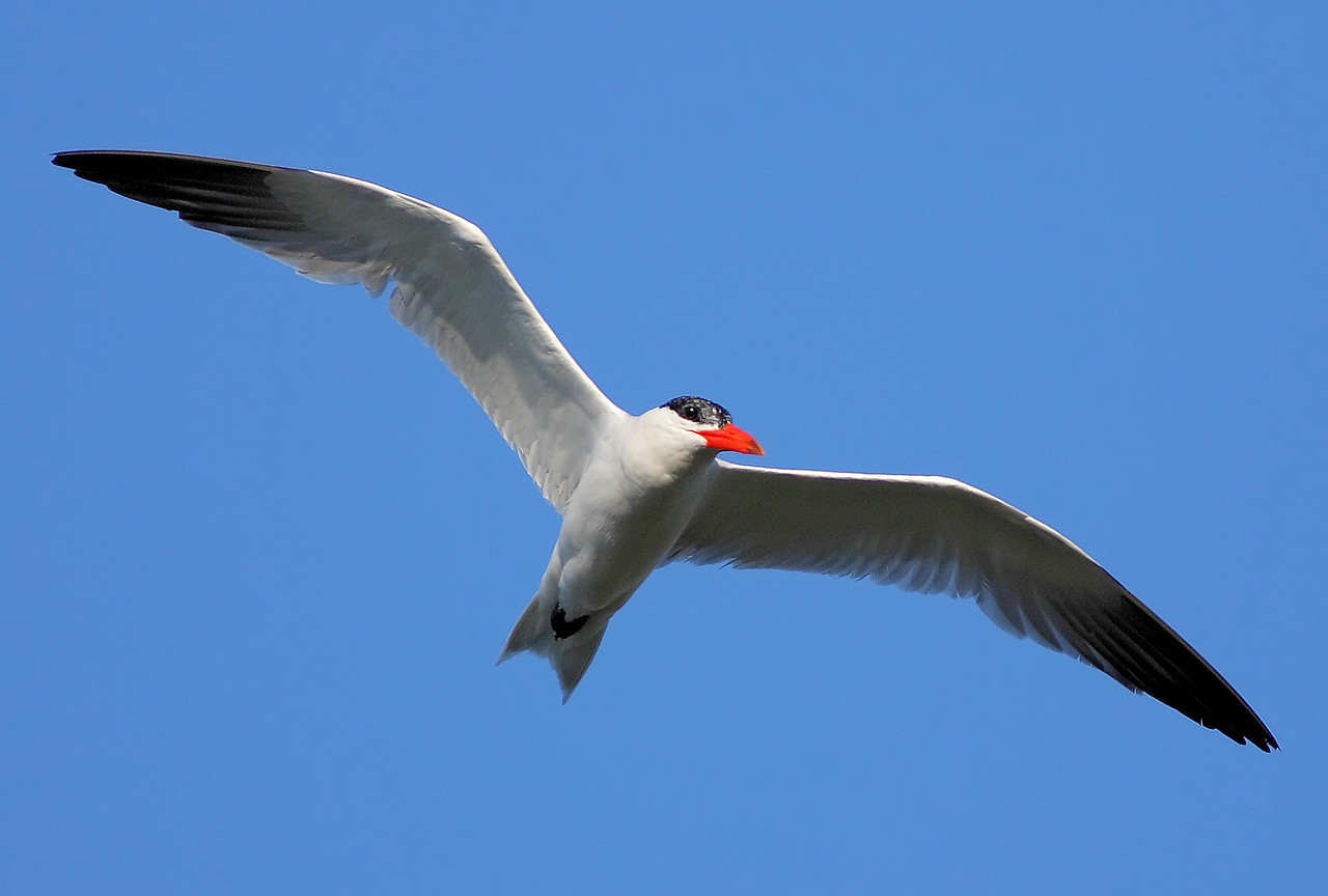 Tern in Flight 1