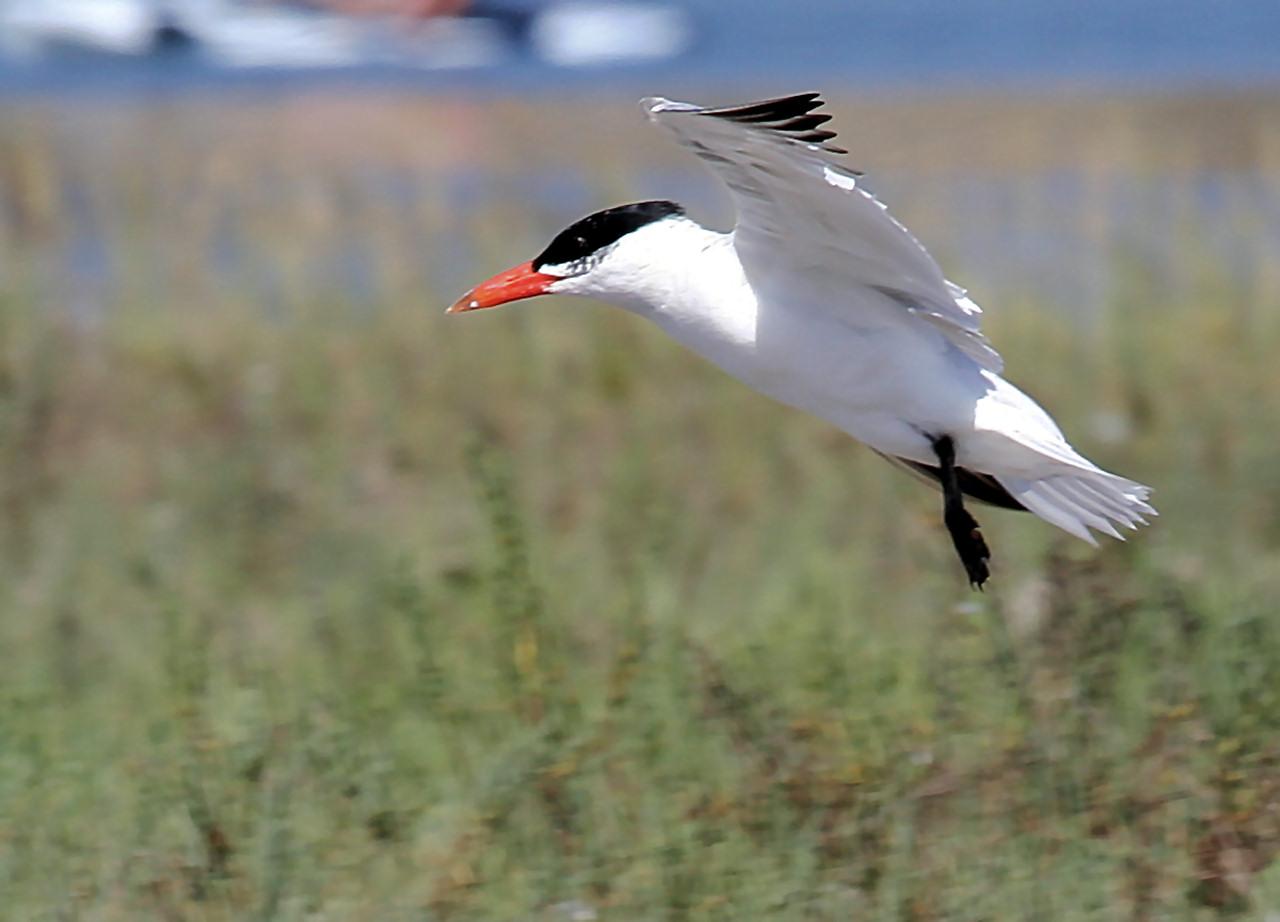 Caspian Tern 2