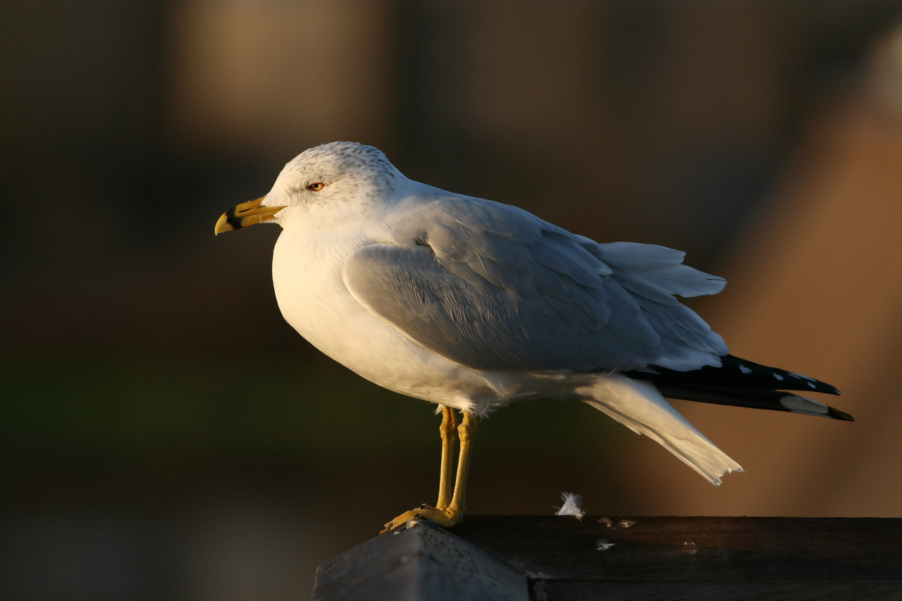 Sunrise Gull