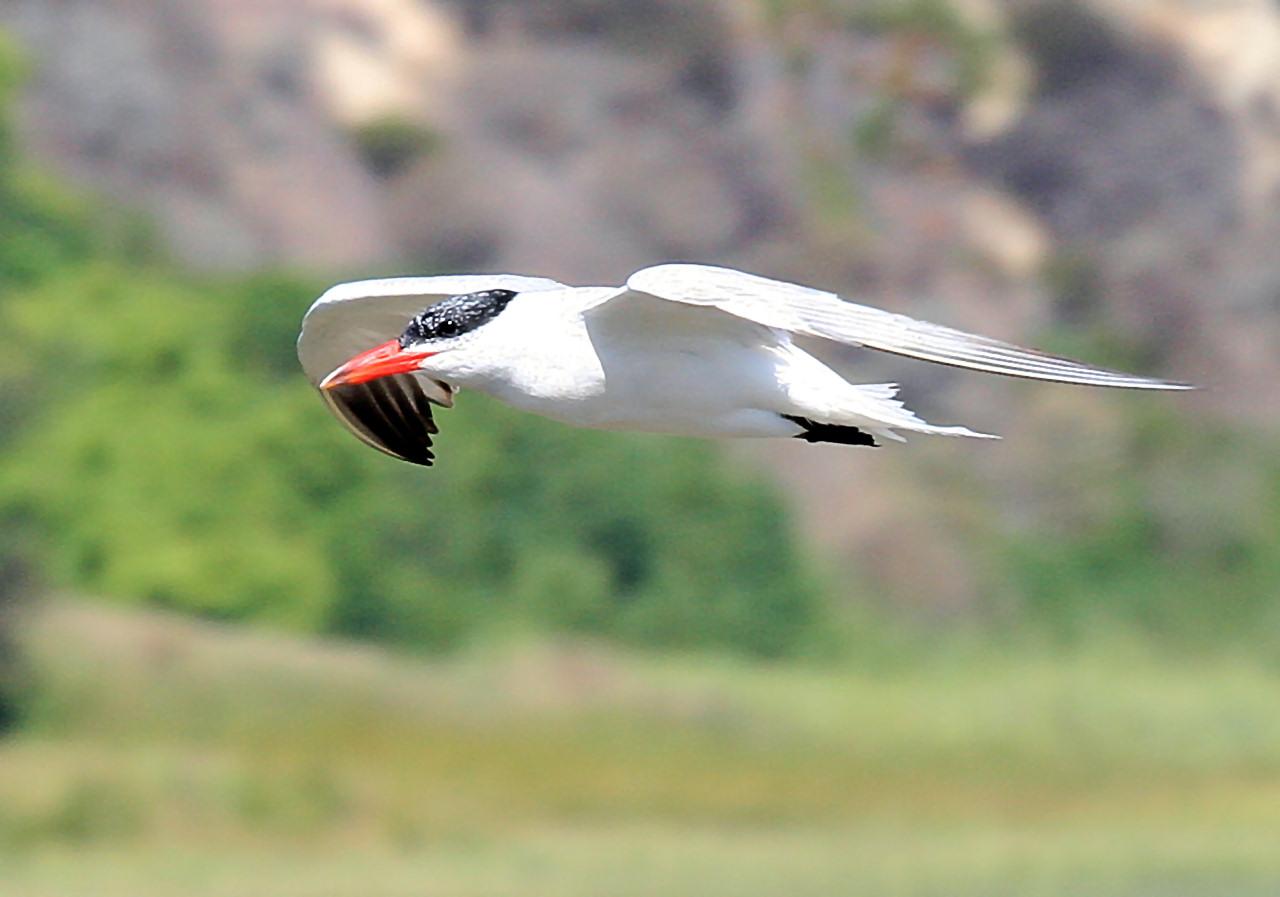 Caspian Tern 1