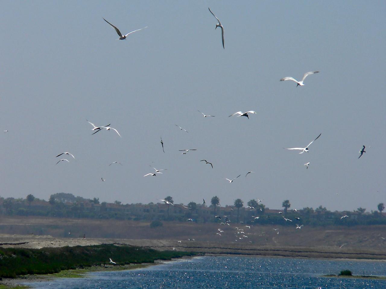 Tern  Flock