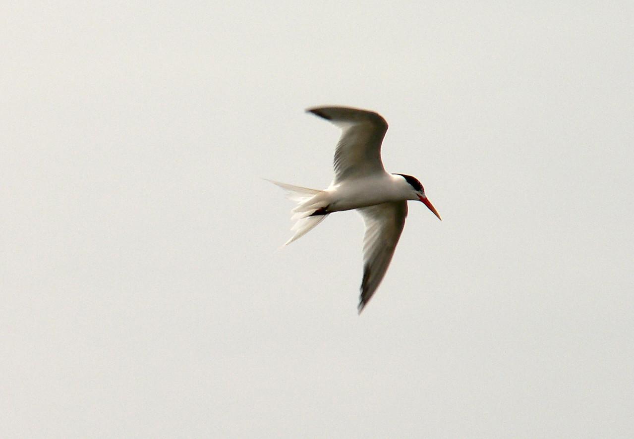 Elegant Tern 1