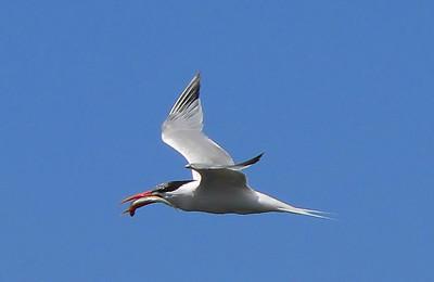 Tern Fish