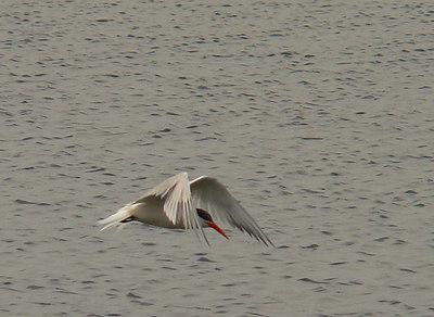 Elegant Tern 3