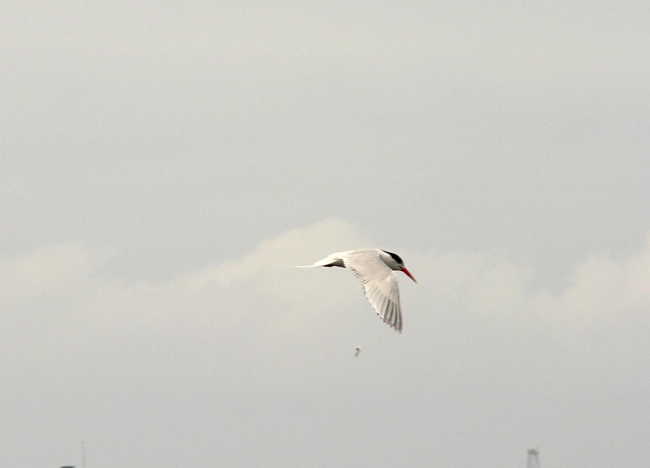 Elegant Tern 2