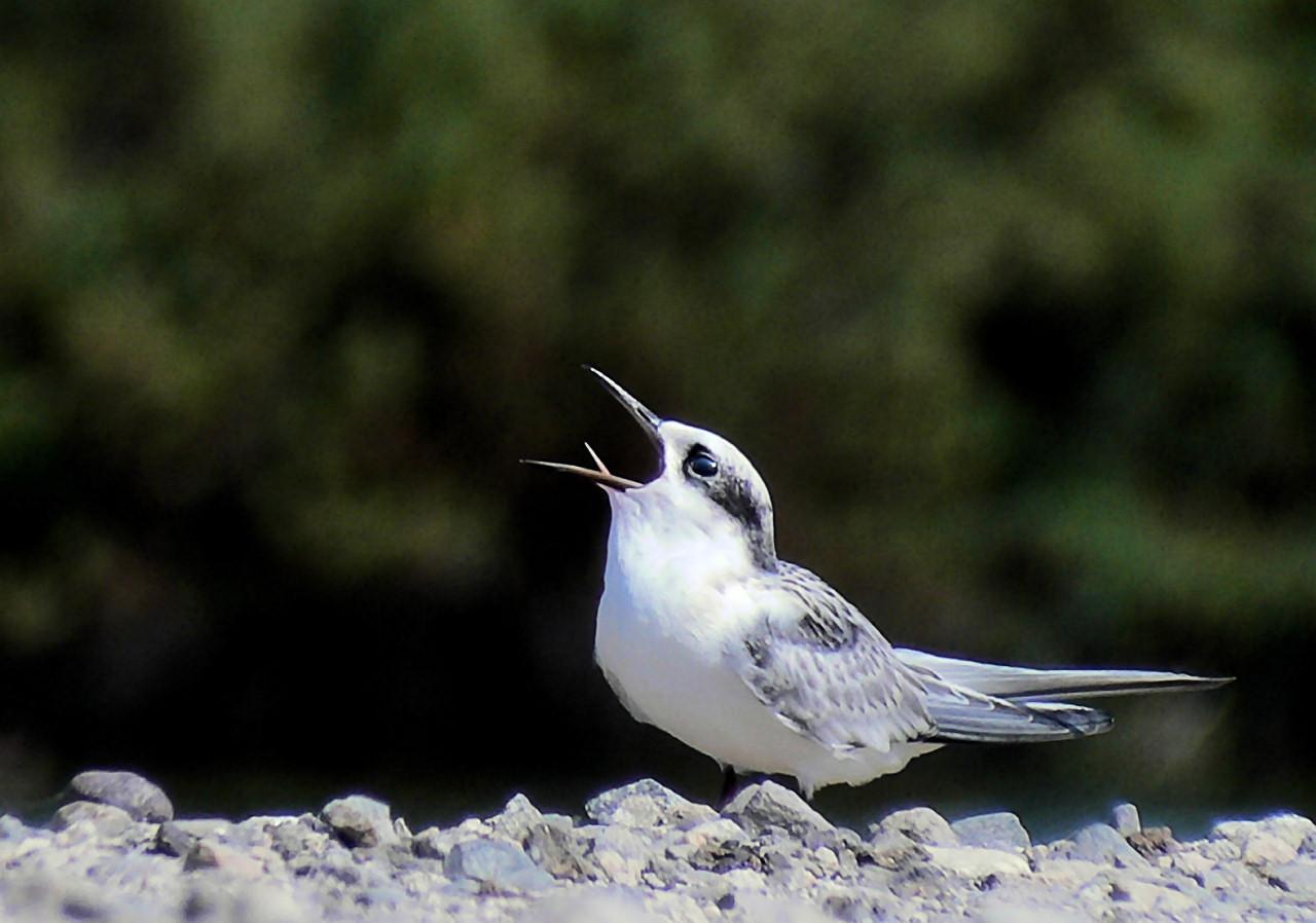 Tern Tounge