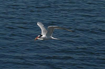 Tern Fish 2