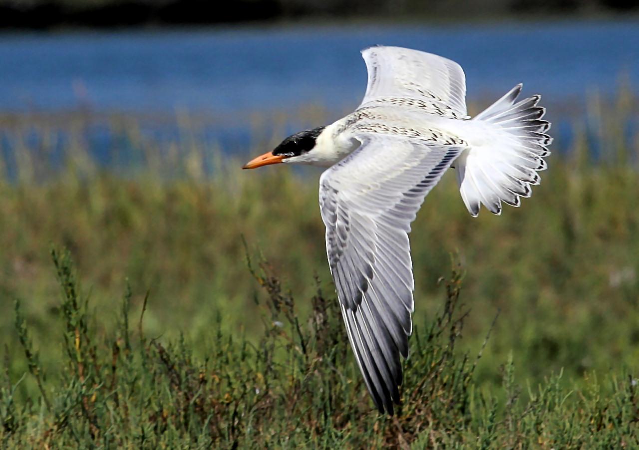 Caspian Tern 4