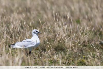 Andean Gull - Record - Antisana Ecological Preserve, Ecuador
