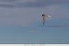 Antarctic Tern - Antarctica