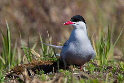 Arctic Tern on nest  - Anchorage, AK, USA
