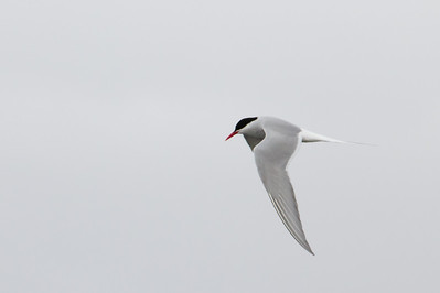Arctic Terns fishing - Teller, AK, USA