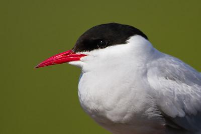 Arctic Tern - Potter Marsh, Anchorage, AK, USA