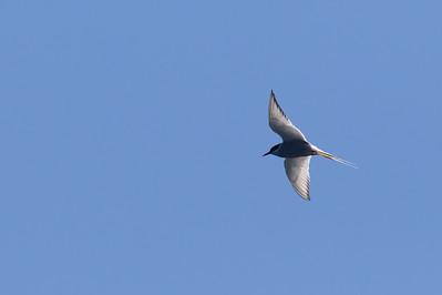 Arctic Tern - Off Half Moon Bay, CA, USA