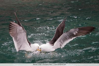 Belcher's Gull - Pucusana, Peru