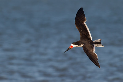 Black Skimmer - Foster City, CA, USA