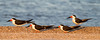 Black Skimmers - Foster City, CA, USA