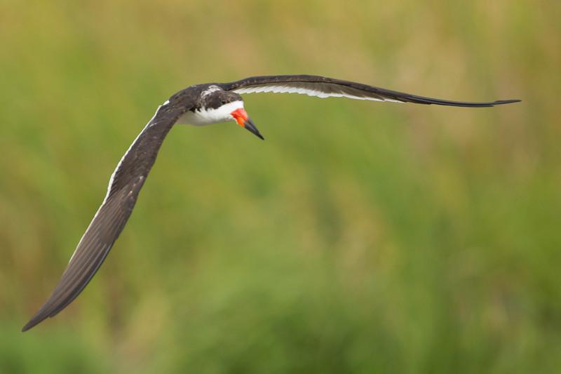Black Skimmer - South Padre Island, TX, USA