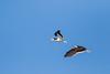 Black Skimmer - Redwood Shores, CA, USA