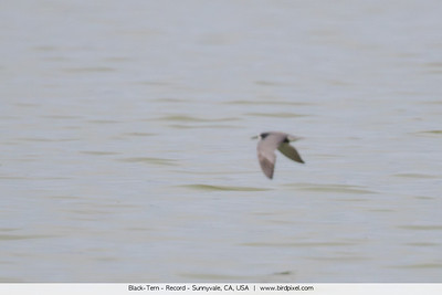 Black-Tern - Record - Sunnyvale, CA, USA
