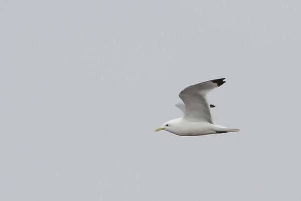 Gulls, Terns & Skimmers - Laridae