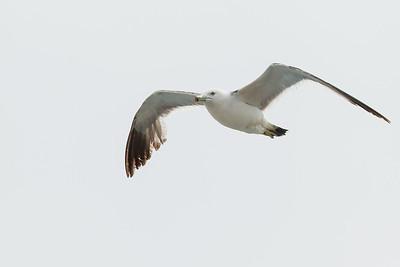 Black-tailed Gull - Oiso, Japan