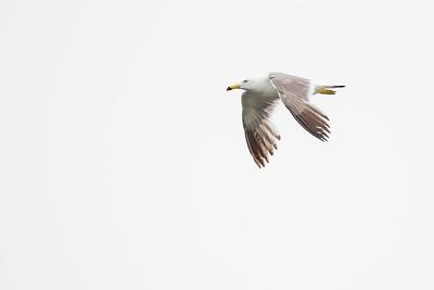 Black-tailed Gull - Sakakagawa River, Kanagawa, Japan