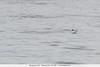 Bonaparte's Gull - Monterey Bay, CA, USA